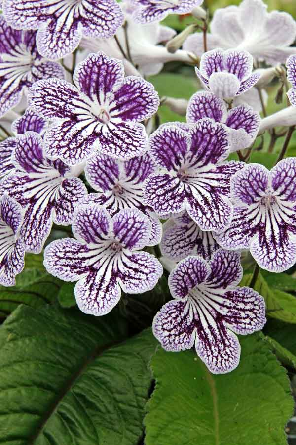 Streptocarpus-Polka-Dot-Purple_credit-DIBLEYS.jpg