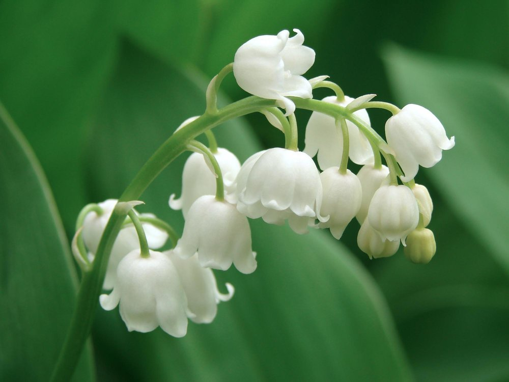 Lily Of The Valley Grow Your Own Good Luck Charm Yours