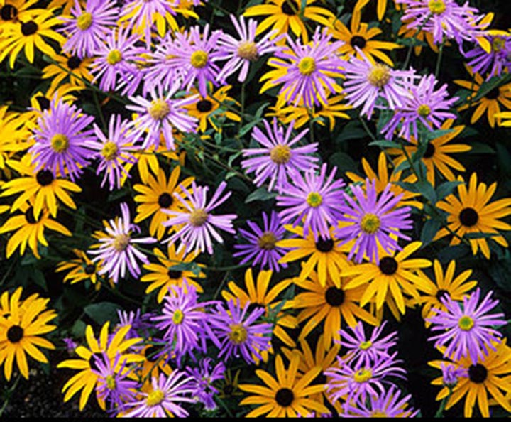 Purple%20asters%20with%20yellow%20rudbeckia.jpg