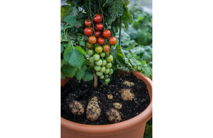 Morrisons-tomato-potato-plant.jpg