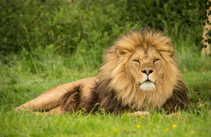 Knowsley%20Safari%20Lion.jpg