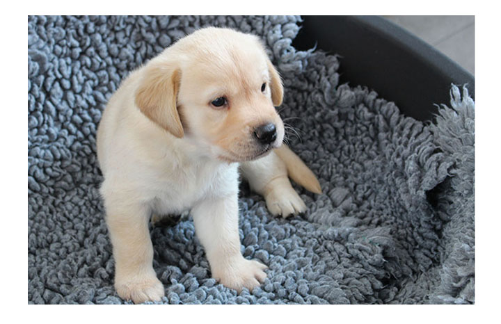 guide-dog-puppy.jpg