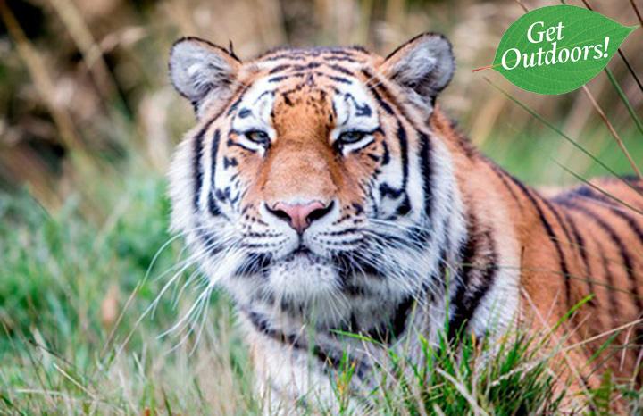 minerva-amur-tiger-woburn-safari-park.jpg