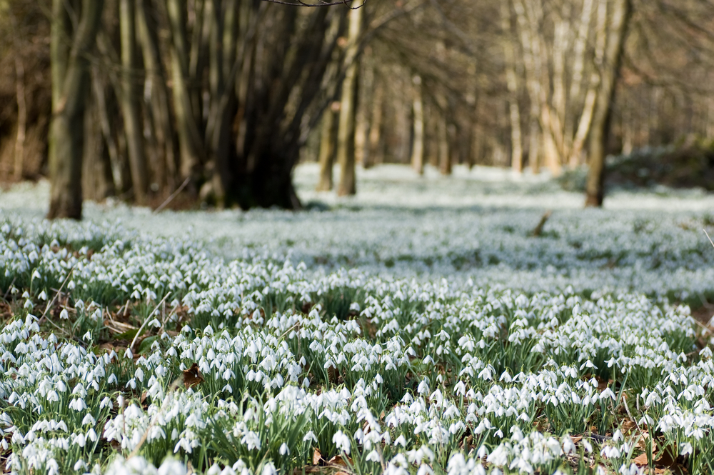 The Best Places In The Uk To See Snowdrops Yours
