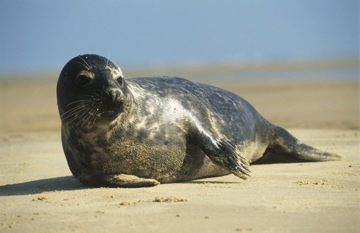 Seal-at-Blakeney-Point%C2%A9National-Trust-ImagesJoe-Cornish.jpg