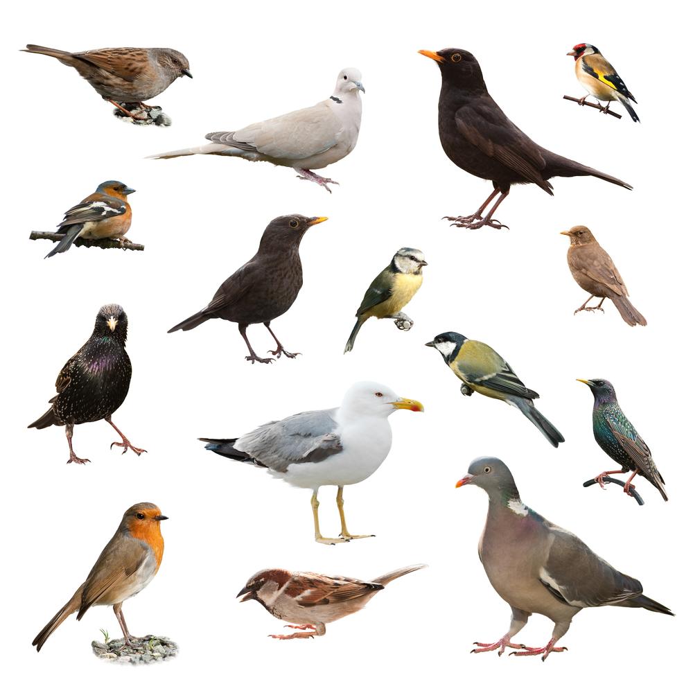 bird-british