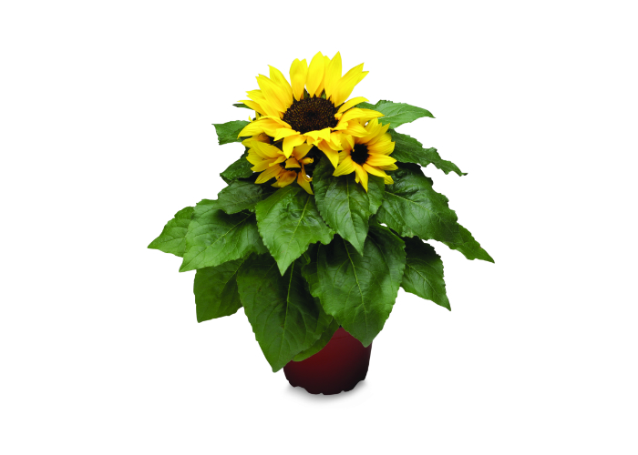 Sunflower savers