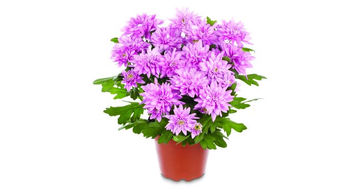 Chrysanthemum cost-cutters