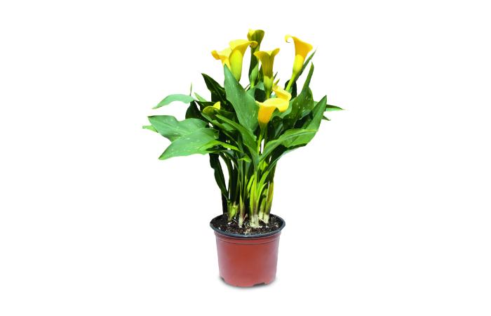 Aldi Calla Lily Yellow 1.jpg