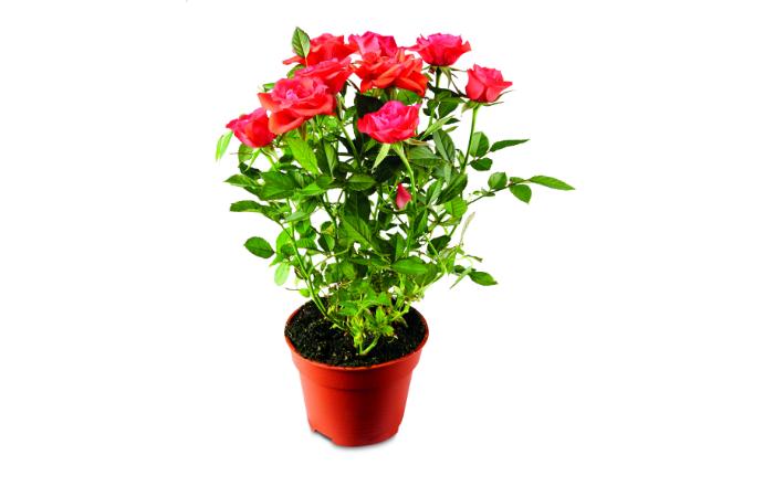 Mini_rose