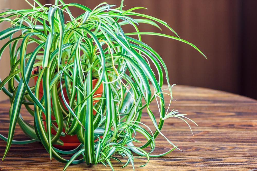 spider-plant-air-purify.jpg