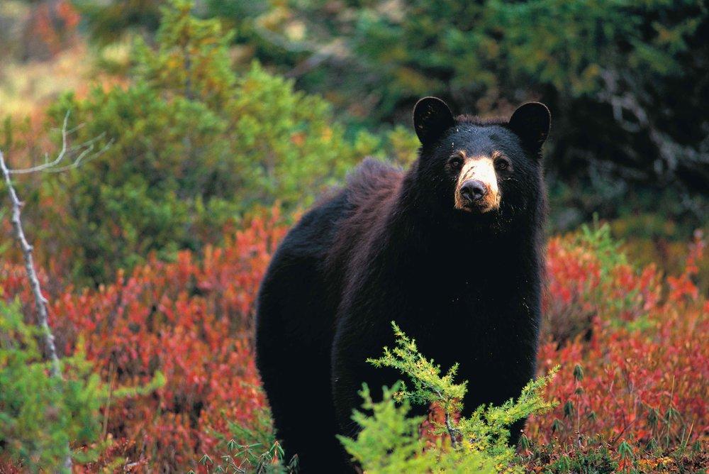 Bear observation,Essipit