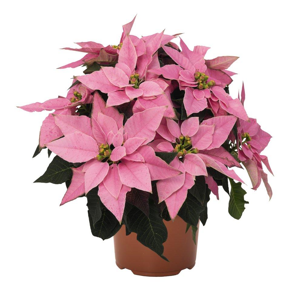 Pink Poinsettia, Exclusive to Wyevale Garden Centres.jpg