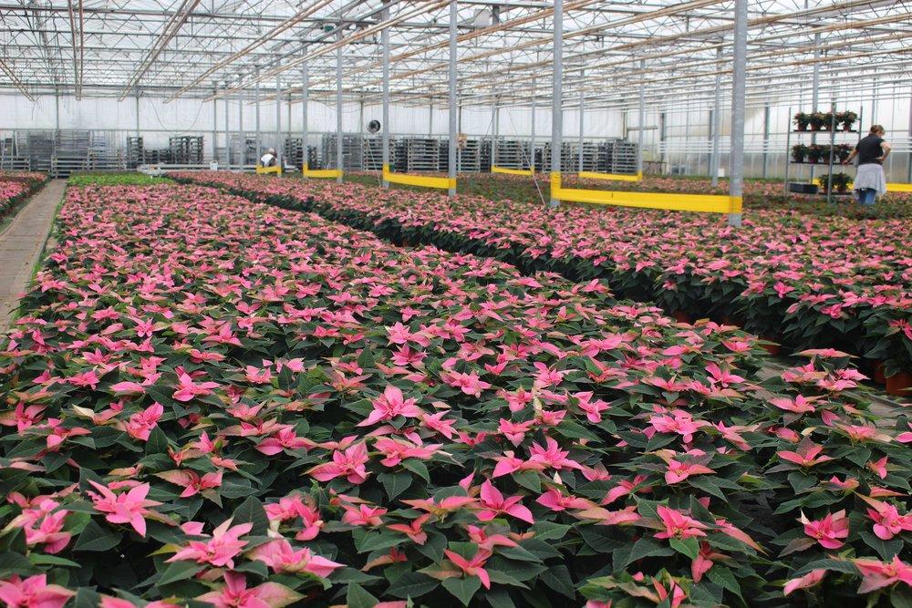 Pink Poinsettia, Exclusive to Wyevale Garden Centres..jpg
