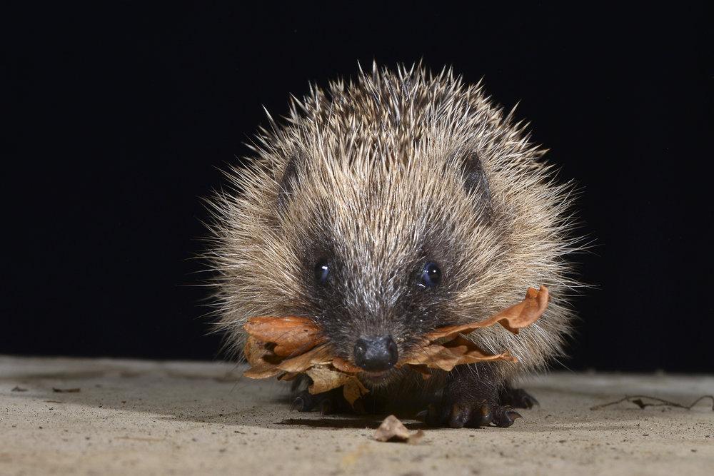 baby-hedgehog-charity.jpg