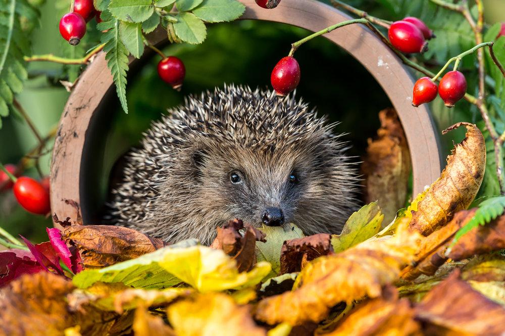 british-hedgehog.jpg
