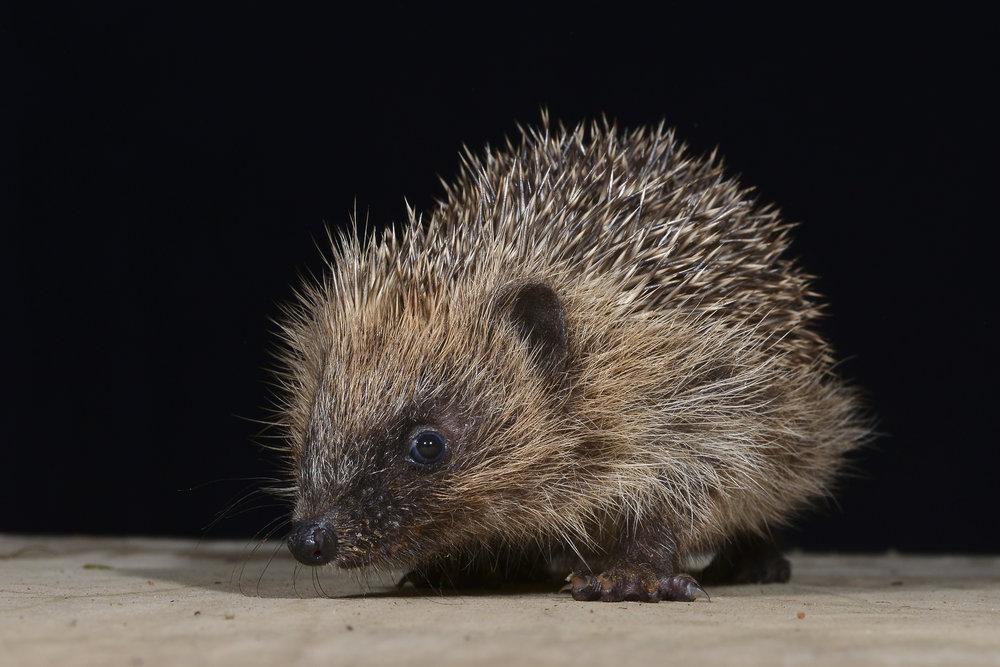 baby-hedgehog.jpg