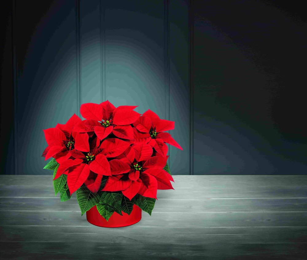 Deck The Halls With Aldis Specialbuys Christmas Trees And Plants
