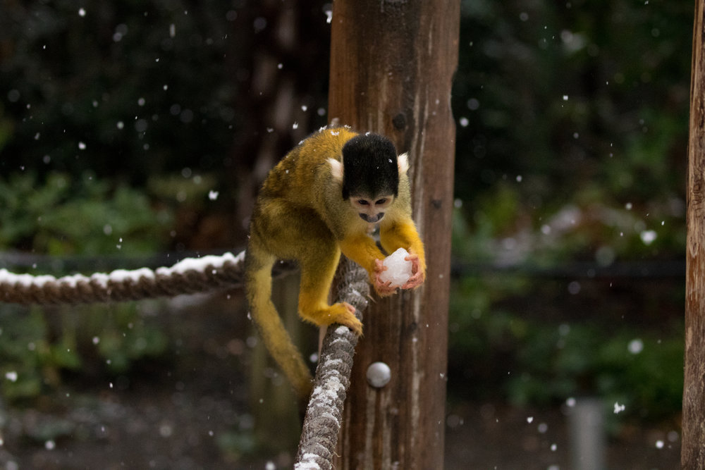 Squirrel monkey picks up snowball at ZSL London Zoo (c) ZSL.jpg