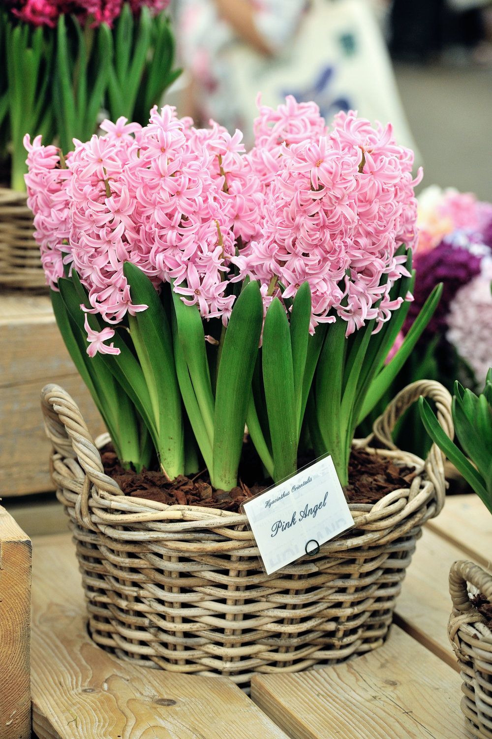 Hyacinths will fill your home with scent