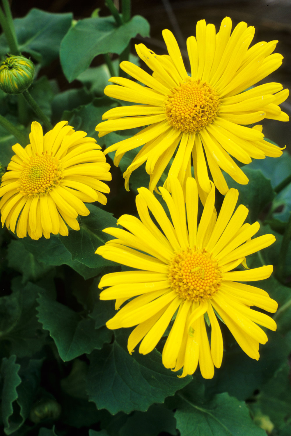 ALAMY_AN03G3 Doronicum.jpg
