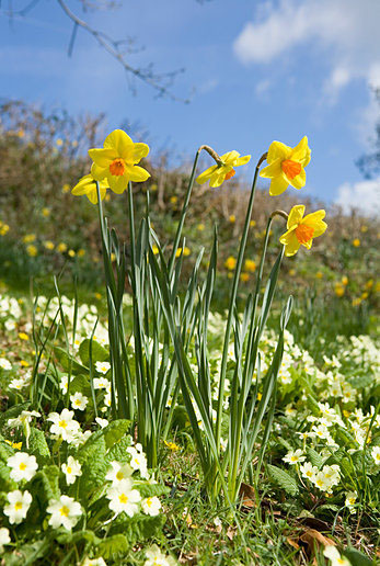ALAMY EJ2PDT primrose and daffs.jpg