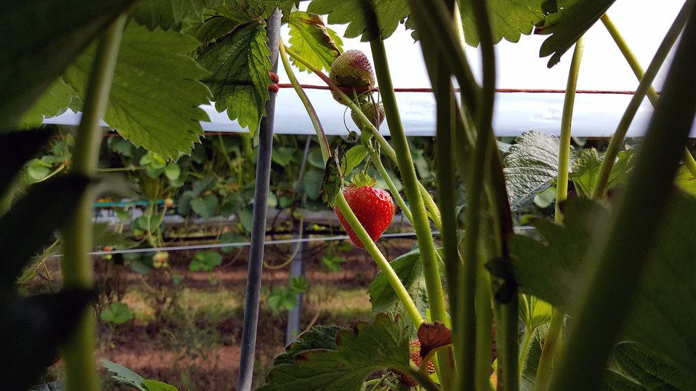 Strawberry farm, Edinburgh