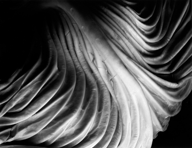 41V Cabbage - Photograph by Edward Weston