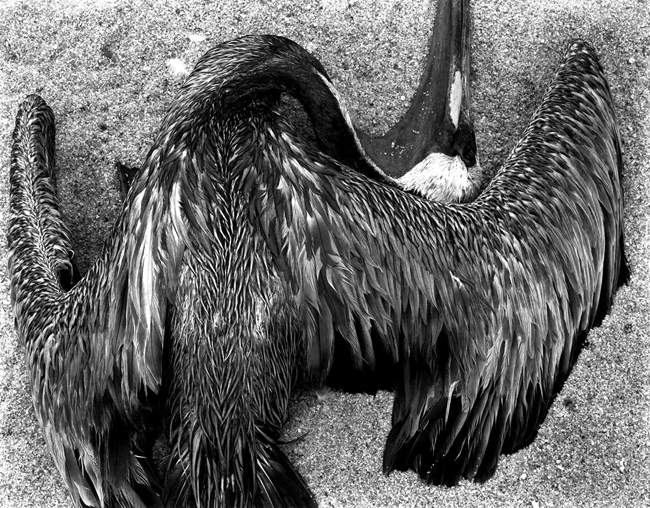 PL42-BI-1 Pelican, 1946 - Photograph by Edward Weston