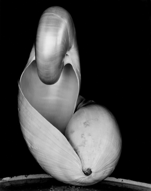 14S-Shell, 1927 - Photograph by Edward Weston