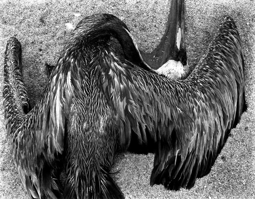 PL42-BI-1 Pelican, 1946 - Photograph by Edward Weston   © 1981 Center for Creative Photography, Arizona Board of Regents
