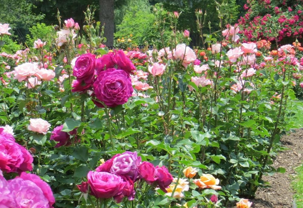 rose garden — The Carlilian Foundation