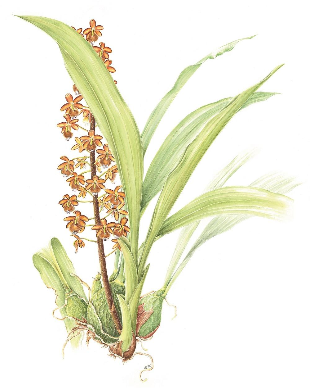 Eriopsis wercklei. Acuarela Sylvia Strigari.jpg