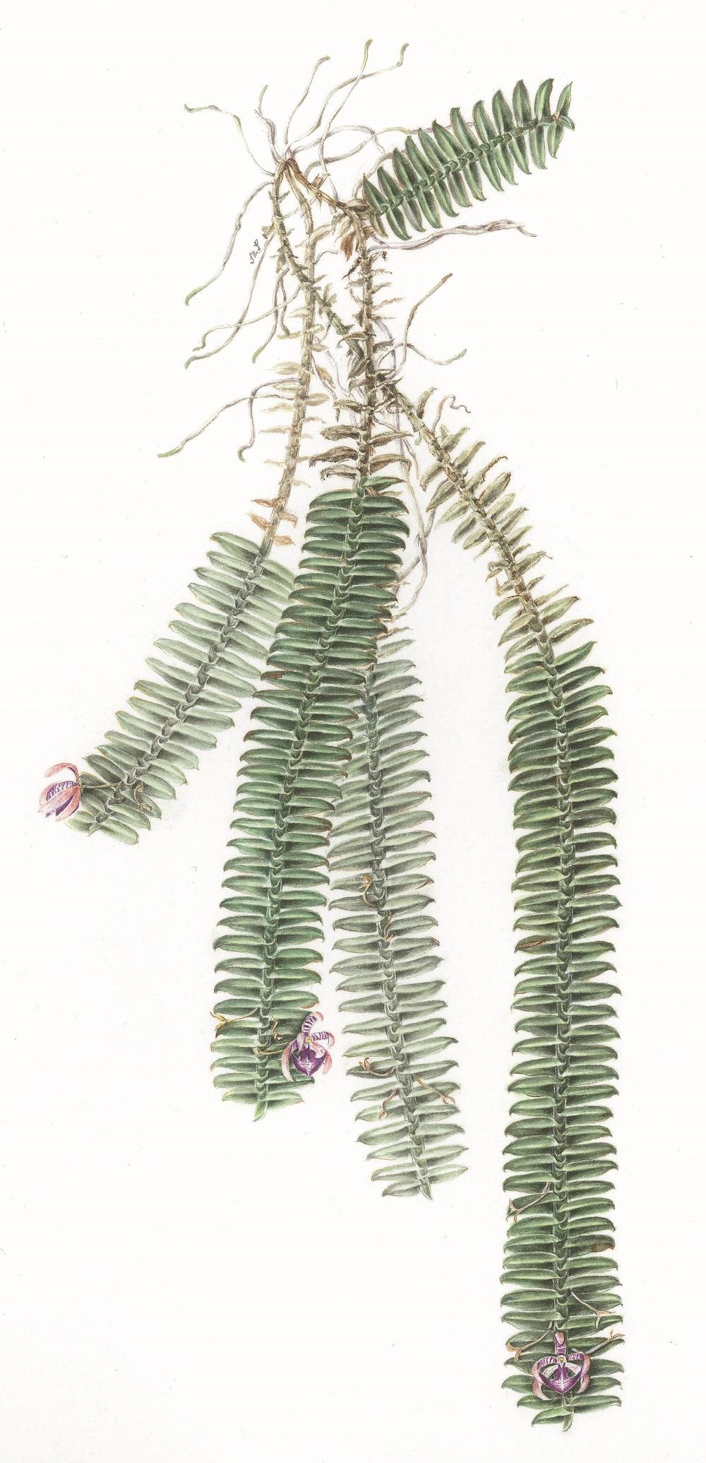 Dichaea filiarum. Acuarela Sylvia Strigari 1.jpg