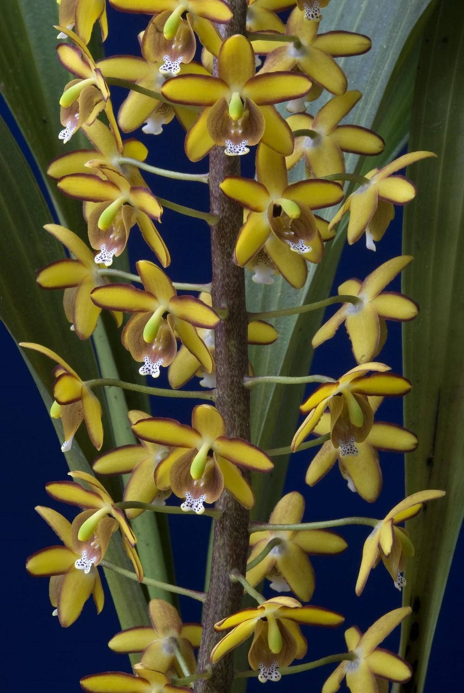 Eriopsis wercklei. Fotografía Franco Pupulin (3).jpg