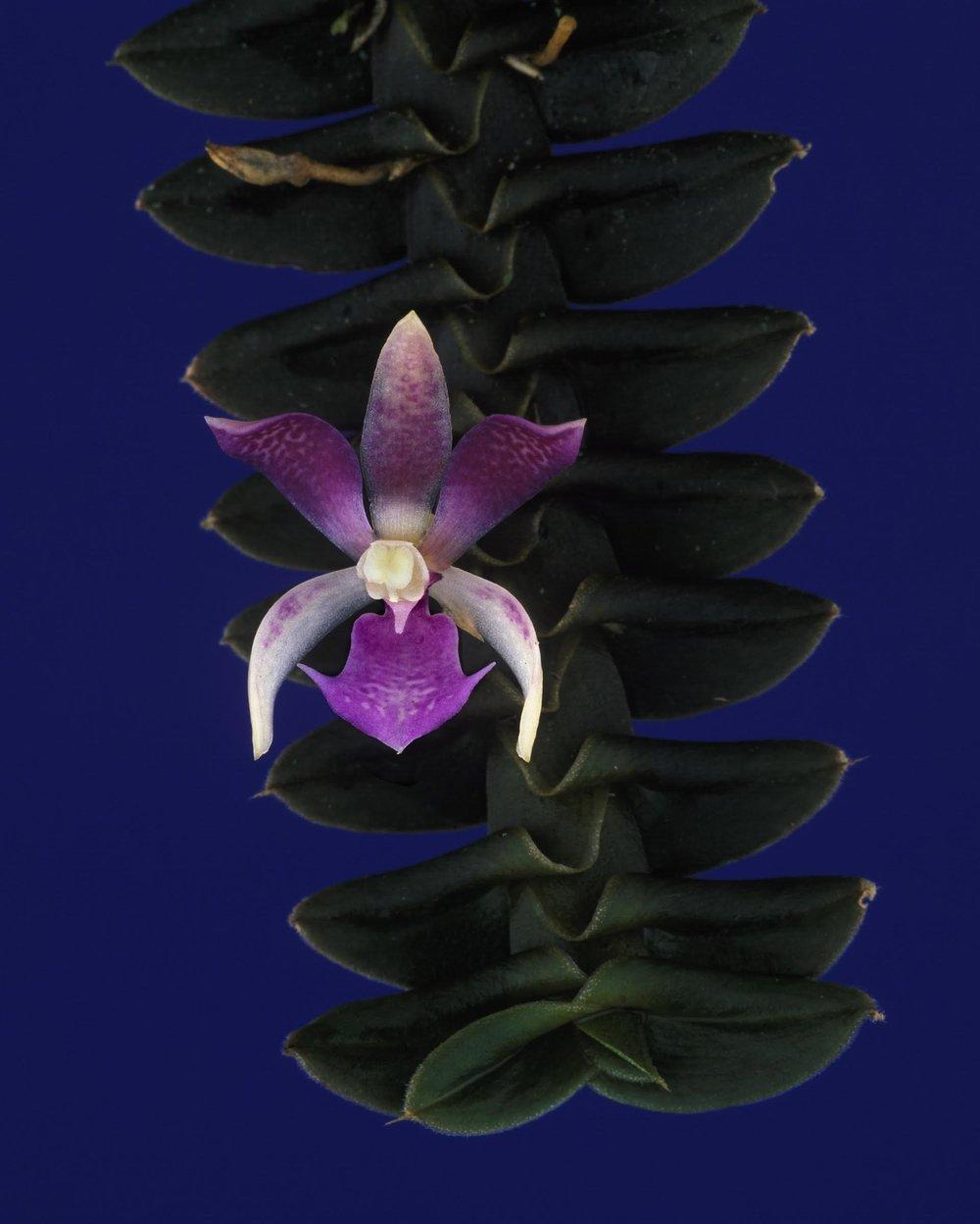 Dichaea filiarum . Fotografía Franco Pupulin.jpg