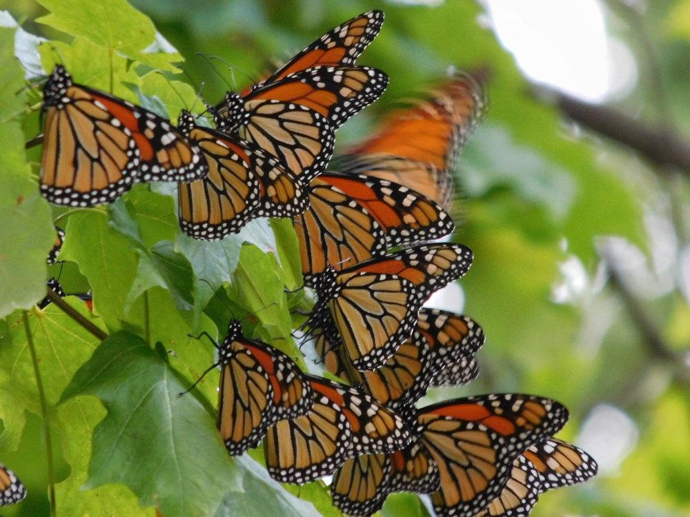 Butterfly-Sept2018 (4).JPG