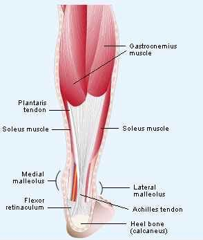 Achilles-tendon_muscle_group.jpg
