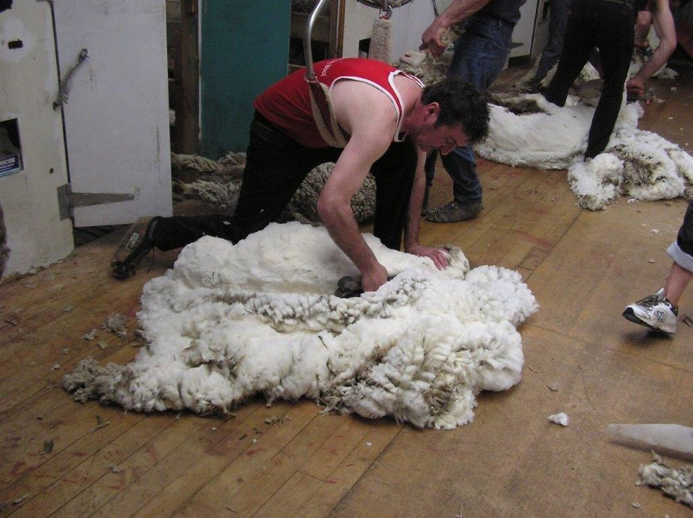 J. 16th october 2011 Shearing Ben Avon (45).jpg