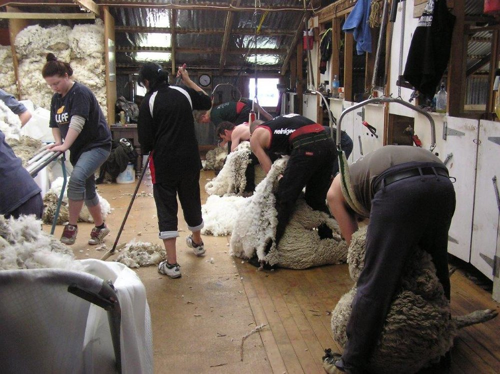 J. 16th october 2011 Shearing Ben Avon (42).jpg