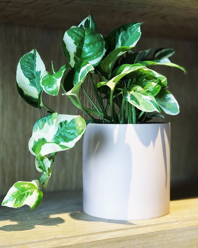 Such a pretty snow queen - part of the philodendron family. Easy care. . Did you know all my plants are for sale?