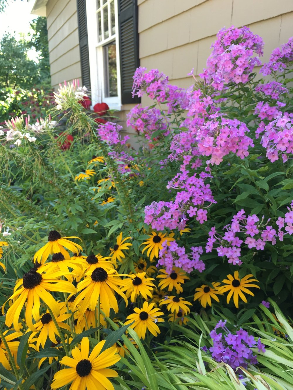 During the summer, you can usually find me in my flower gardens on weekday afternoons. In this picture are clockwise Black-Eyed Susans, Cleome, and Phlox.