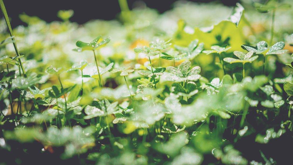 clover greens.jpg