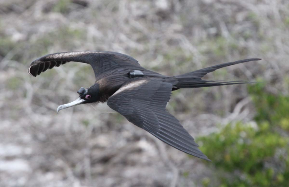One of the great frigatebirds used in the study reported in Nature Communications, outfitted with EEG sensors, an accelerometer, and GPS.