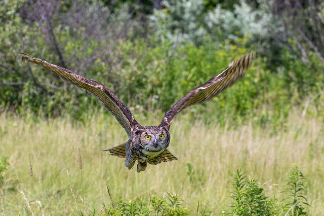 A Great Horned Owl.  Source