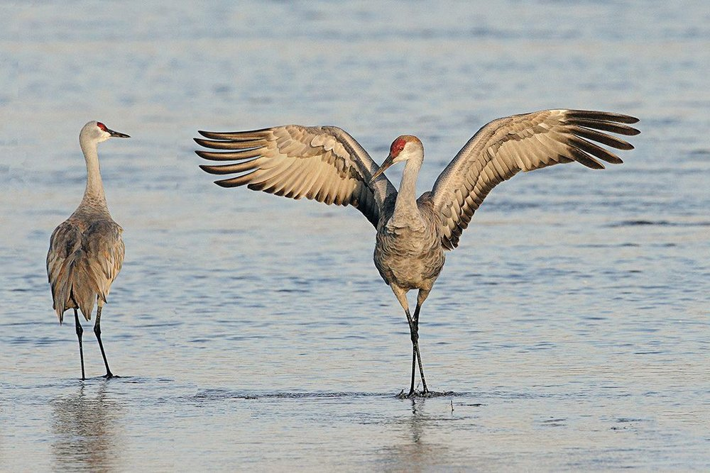 When looking for pictures of Sandhill Cranes, I noticed that the way this bird spreads its wings reminds me an awful lot of the artist renderings of the Mothman, like the ones I posted above. Made me think, for sure!   Source