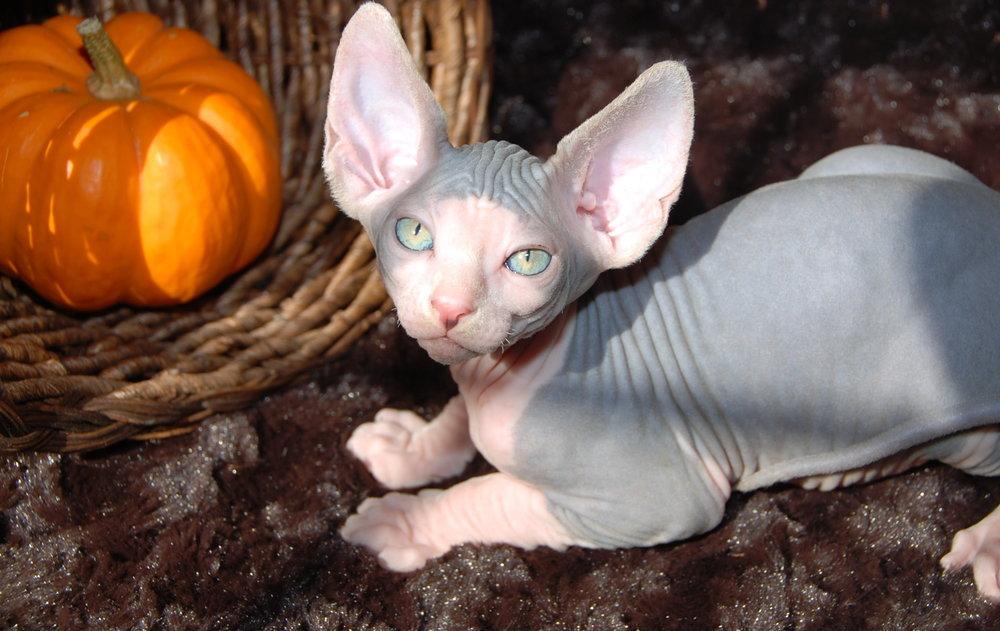Blue and White Sphynx