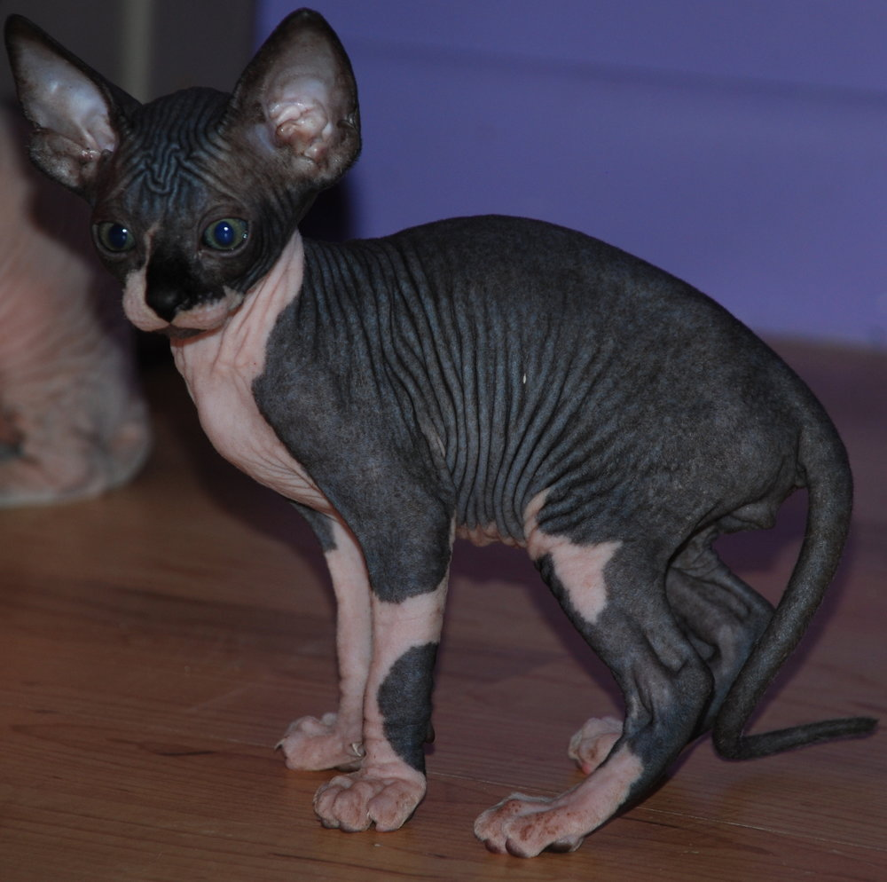 black sphynx sphynx kittens hairless kittens — NOCOATKITTY SPHYNX