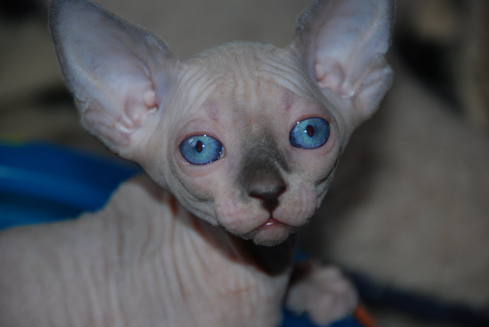 Blue and White Point Sphynx