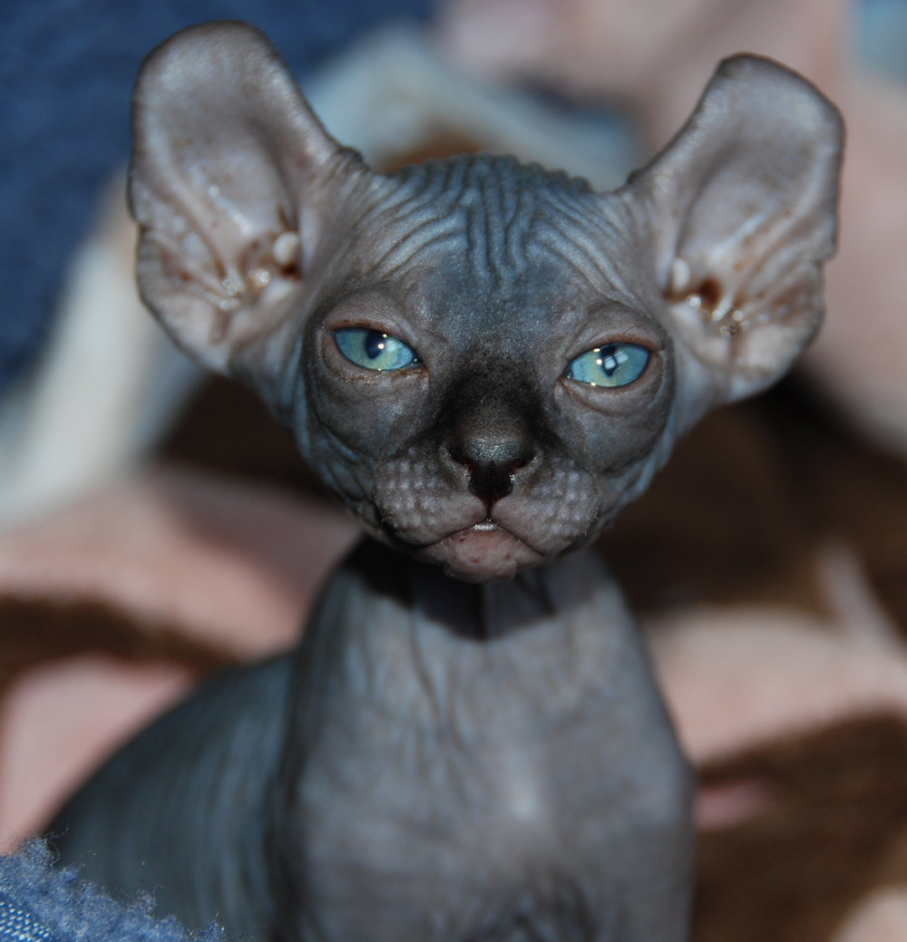 Elf kittens elf sphynx elf cats — NOCOATKITTY SPHYNX